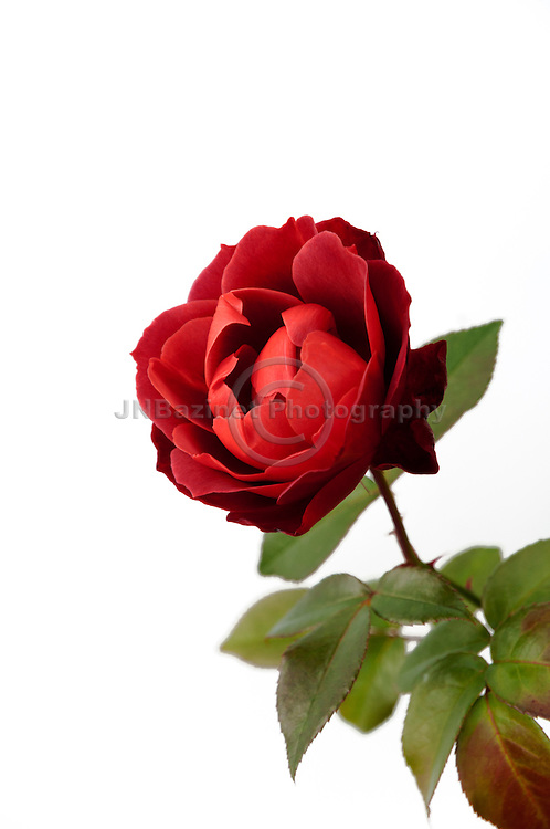 Full bloom Hot Red Cocoa Rose isolated on white background