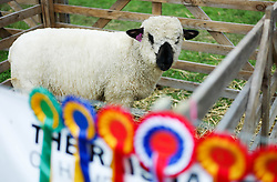 © Licensed to London News Pictures.29/07/15<br /> Borrowby, UK. <br /> <br /> A prize winning sheep stands in a pen at the Borrowby Country Show and Gymkhana in North Yorkshire.<br /> <br /> Photo credit : Ian Forsyth/LNP