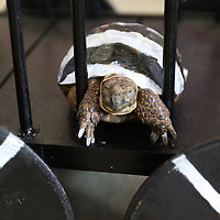 There were all types of animals at Saturday's Elvisfest Pet Parade put on by Dilworth Small Animal Hospital, but only one turtle named Lisa Marie