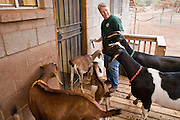 July 26, 2008 -- SNOWFLAKE, AZ: KATHRYN HEININGER, co-owner of the Black Mesa Ranch, checks on some of her Nubian Dairy goats on the porch of the milking parlor on the Black Mesa Ranch, a 280 acre spread in the high desert near Snowflake, AZ. The ranch owners, David and Kathryn Heininger, run a herd of about 40 Nubian dairy goats and hand make artisan cheese from the goat's milk. It's a second gear for them, they retired from Tucson, AZ, where they bought and renovated  historic homes. The moved to the ranch in 2001 and started making and selling cheese shortly after the move. Their cheese is used in expensive restaurants in Phoenix and sold at natural food stores in Arizona. PHOTO BY JACK KURTZ