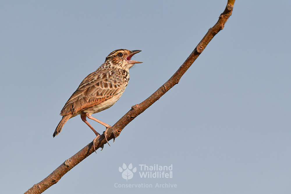 The Indochinese bush lark (Mirafra erythrocephala) or Indochinese lark is a species of lark in the family Alaudidae found in southeast Asia.