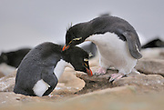 Rockhopper penguins courtship bowing and, preening