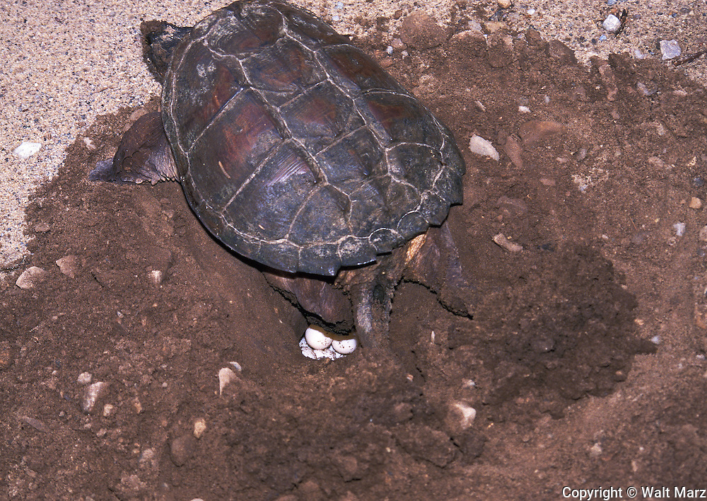 Snapping turtle laying eggs along pond access-road, Upper Michigan