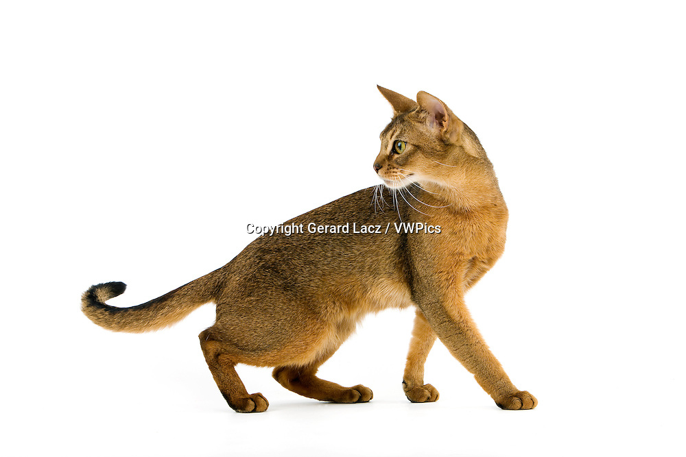 Abyssinian Domestic Cat, Adult against White Background