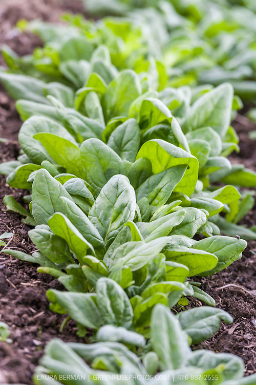 Bordeaux  Hybrid Spinach growing in a kitchen garden.