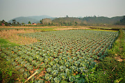 Mar. 13, 2009 -- VANG VIENG, LAOS: A Cabbage field near Vang Vieng, Laos. Photo by Jack Kurtz