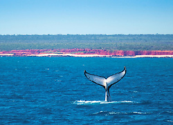 A single humpback whale tail acts as an exclamation mark just off James Price Point on the Kimberley coast.  An LNG gas processing hub is planned for an area between James Price Point and Quandong Point.