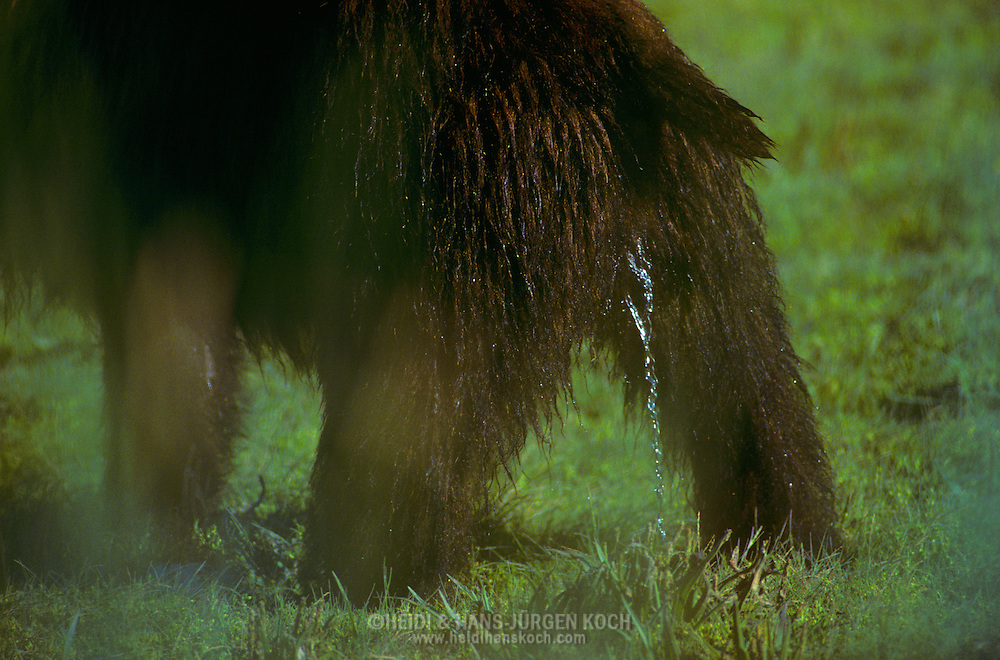 USA, Vereinigte Staaten Von Amerika: Grizzlybär (Ursus arctos horribilis) uriniert, markiert sein Revier, Admiralty Island, Alaska | USA, United States Of America: Brown bear (Ursus arctos horribilis), urinating, marking the territory, Admiralty Island, Alaska |