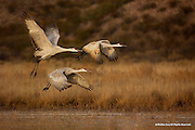 Sandhill Cranes<br />