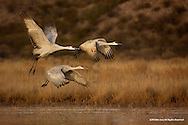 Sandhill Cranes<br /> Bosque del Apache National Wildlife Refuge, New Mexico<br /> <br /> Sandhill Cranes spend most of the day feeding in grain fields. When darkness descends, they seek the safety of shallow waters in lakes and rivers.<br /> <br /> Edition of 500
