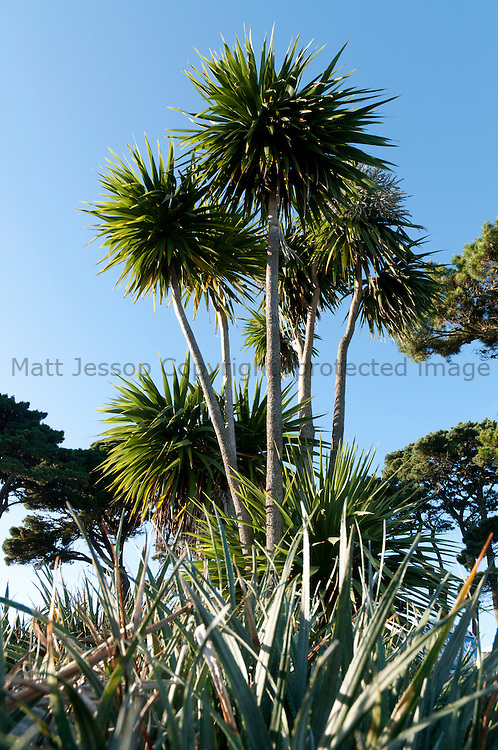 Macrocarpa and Palm trees