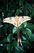 Africa, Madagascar, Close up of a Comet moth or Moon Moth (Argema mittrei)
