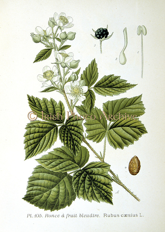 European Dewberry (Rubus caesius) Sprig of flower and flower buds and details of fruit and flowers. Close relative of the Blackberry, Dewberries are common across the Northern Hemisphere.  From Amedee Masclef 'Atlas des Plantes de France', Paris, 1893.