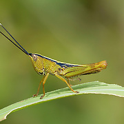 An Acridinae nymph of the order orthoptera.