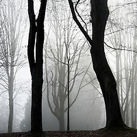 Layers of trees with 2 prominent in the fog.