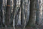 close up of pine forest of one is marked to be cut down