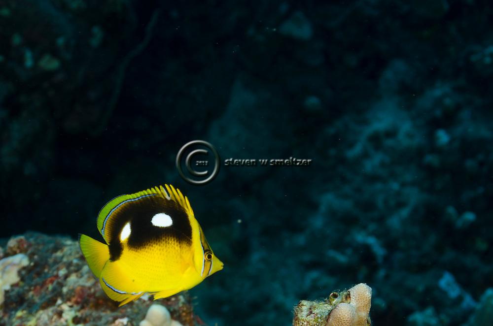 Fourspot Butterflyfish, Chaetodon quadrimaculatus, Gray, 1831, Maui Hawaii