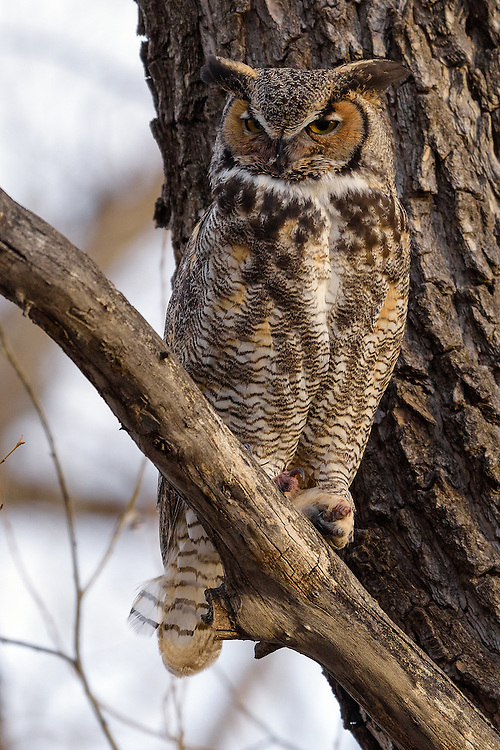 Great Horned Owl at Twin Lakes Open Space in Boulder, CO