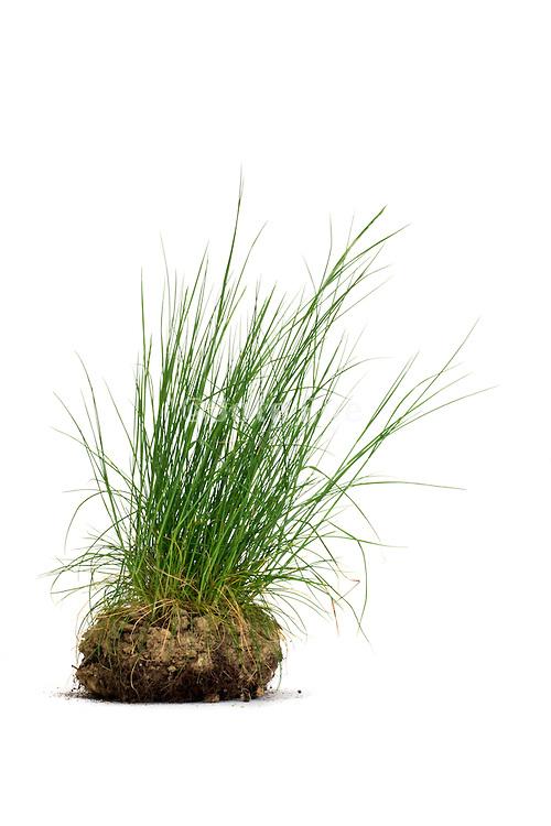wild grass on a clump of soil