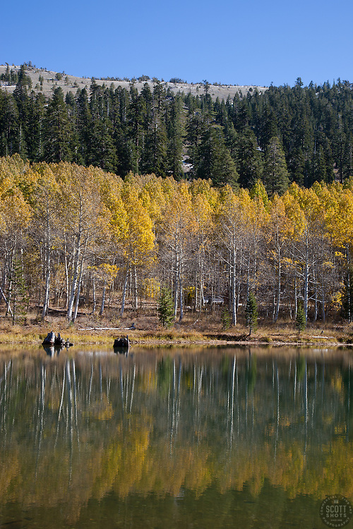 """Aspens at Marlette Lake 1"" - These aspens were photographed in the fall at Marlette Lake, Nevada."