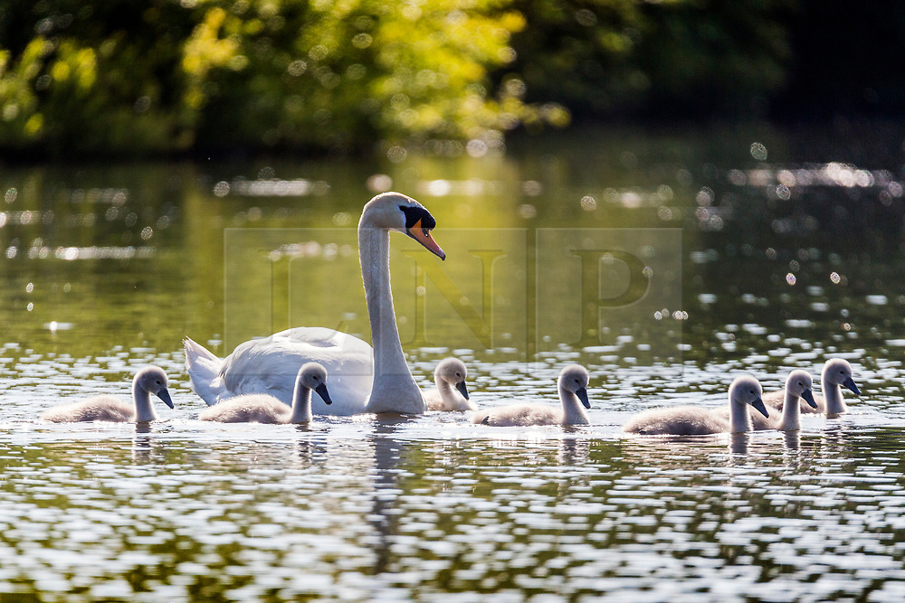 © Licensed to London News Pictures. 13/06/2018. Leeds UK. A swan & her seven Cygnets swim across the lake at Golden Acre park in the sunshine this morning in Leeds. Photo credit: Andrew McCaren/LNP