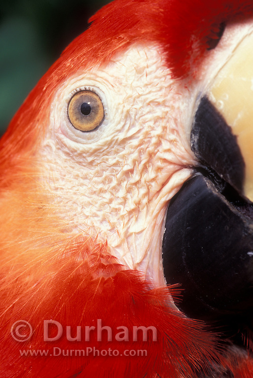Portrait of a Scarlet Macaw (Ara macao) with eye close-up. Native from South Mexico to Amazonia (Brazil). Captive,