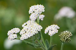 Yarrow. Achillea millefolium