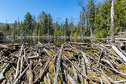 A beaver dam creates a pond near Stonehouse Pond in Barrington, New Hampshire.