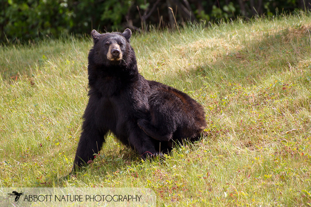 American black bear (Ursus americanus) - scratching<br /> CANADA: British Columbia (Stikine Region)<br /> along Alaska Highway<br /> 18-July-2012<br /> J.C. Abbott &amp; K.K. Abbott