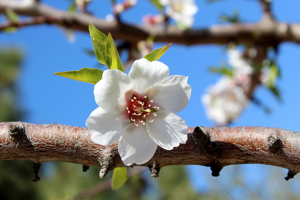 Blossom on sweet almond tree (Species: Prunus amygdalus, syn. Prunus dulcis, Amygdalus communis, Amygdalus dulcis), is a tree native to the Middle East and South Asia and was spread by humans in ancient times along the shores of the Mediterranean Region.