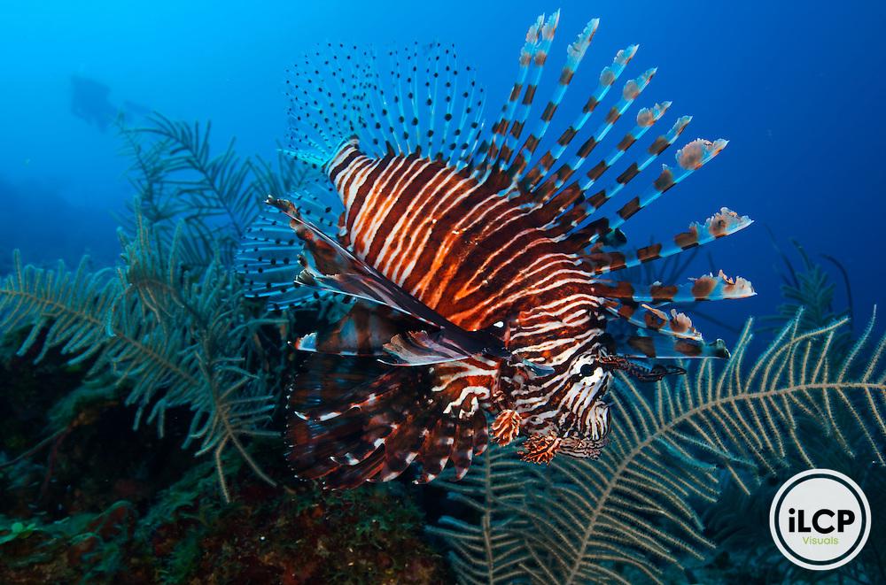 Red Lionfish (Pterois volitans), Blackhills, Utila Island, Bay Islands, Honduras, April