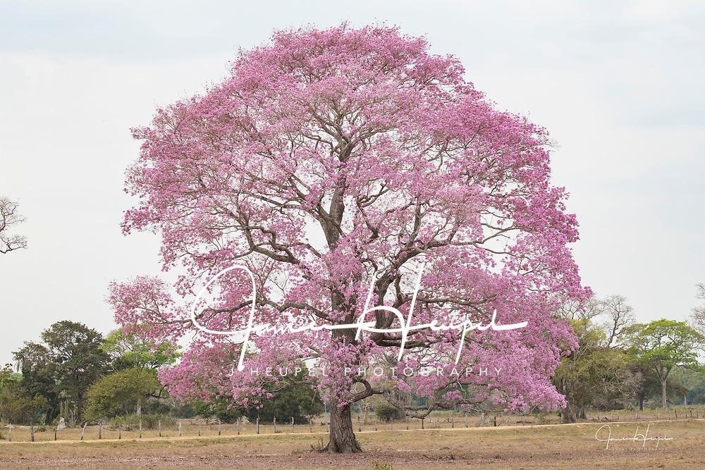 Puival Tree