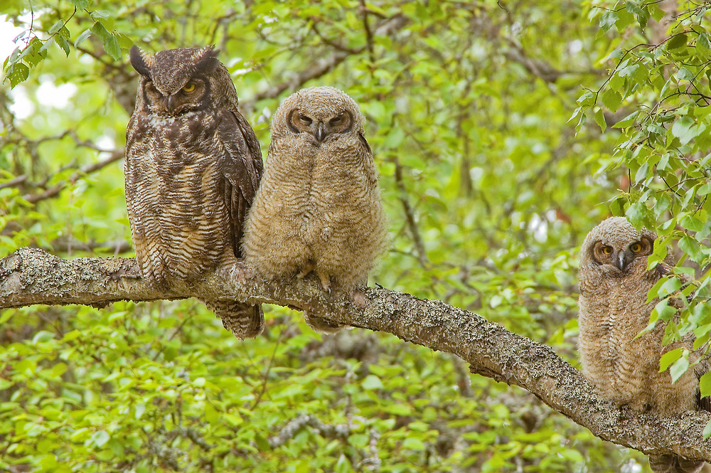 An adult Great Horned owl and two smaller baby hoots sit on the same branch and stare at the photographer.