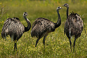 Greater rhea (Rhea americana) Usually active in the middle of the day and seen foraging in the open grasslands for invertibrates and instects.<br /> PHOTOGRAPHED IN: Pantanal. Largest contiguous wetland system in the world. Mato Grosso do Sul Province. BRAZIL.  South America<br /> RANGE: Campos of Brazil, Bolivia, Uruguay, Paraguay to plains of Argentina south to Rio Negro.