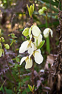 Annonaceae (Custard Apple Family)