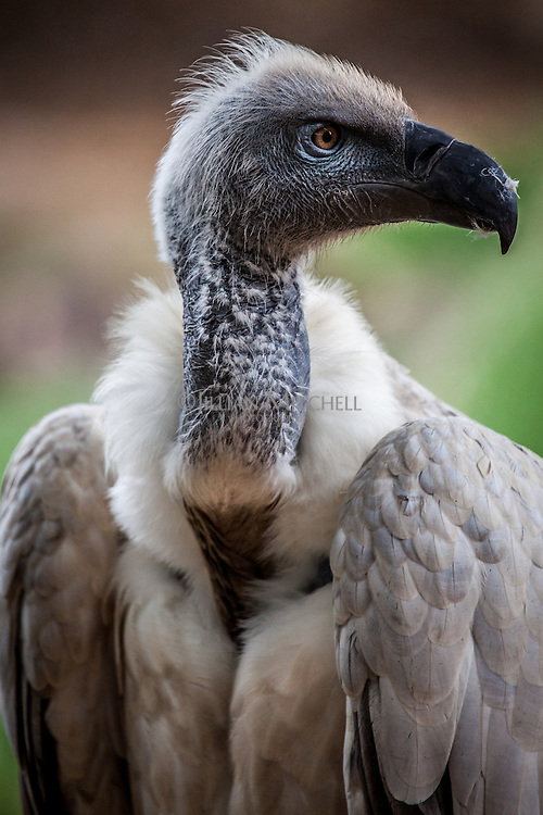 Portrait of a White-backed Vulture.
