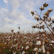 Cotton field at sunrise in Cane River, LA. Photo by Lori Waselchuk