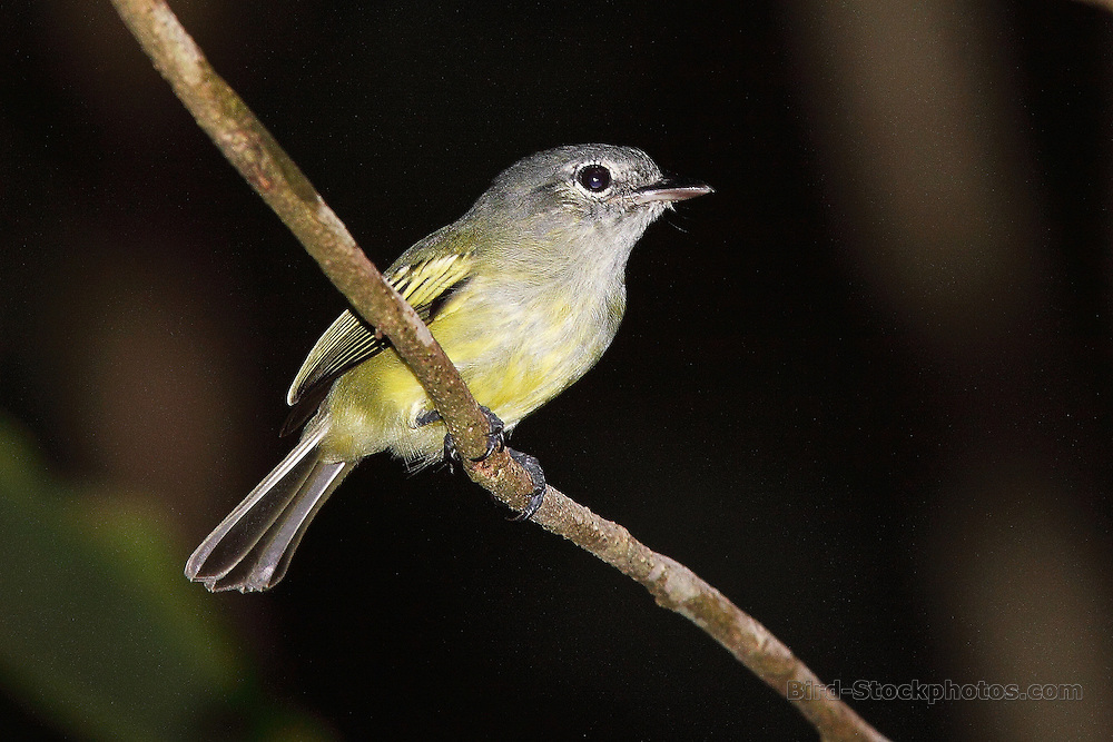 Yellow-margined Flatbill (Yellow-margined Flycatcher), Tolmomyias flavotectus, Panama, by Adam Riley