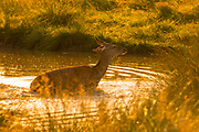 UNITED KINGDOM, London: 25 July 2019 <br /> A deer cools down in a small pond in the early morning light as the sun rises in Richmond Park on what could be the hottest day ever recorded in Britain. Temperatures are set to reach up to 39 degrees Celsius later today.<br /> Rick Findler / Story Picture Agency
