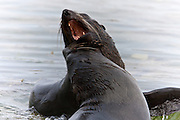 New Zealand Fur Seal, Kaikoura