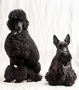 Studio shot of a Black Medium or Moyen poodle with a Scottish Terrier pedigree dogs