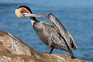 Brown Pelican - Pelicanus occidentalis - Californian race