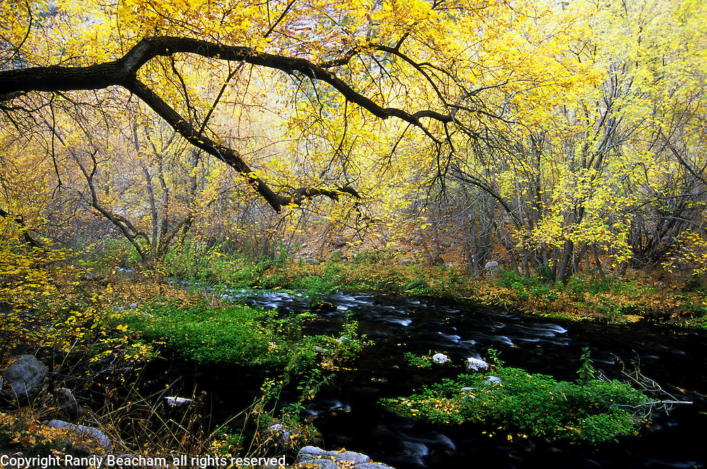 Jones Hole Creek and Boxelders in fall. Dinosaur National Monument, Utah.