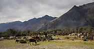 A herd of goats graze on shrubs and trees near the Hundar sand dunes. Scenery of Nubra Valley, Ladakh on 4th June 2009. The valley of Ladakh is located in the Indian Himalayas, in the northern state of Jammu and Kashmir. Photo by Suzanne Lee