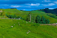 Sheep grazing, Tuki Tuki Hills, near Napier, Hawkes Bay, north island, New Zealand