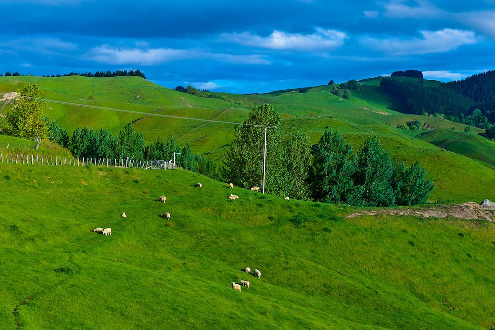 Sheep grazing, Tuki Tuki Hills, near Napier, Hawkes Bay, north island, New Zealand