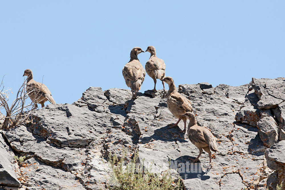 A covey of young mid-summer Chukar runs to the top of a rock this upland bird prefers to escape by running to the top of a hill and flys down the hill.