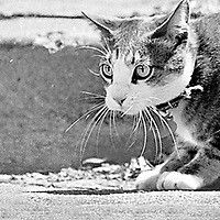 In a scene that has been repeated since the dawn of the adversarily relationship between rodents and felines, a mouse scampers past a cat in Santa Cruz enroute to the safety of a drainpipe.  The mouse escaped unharmed.