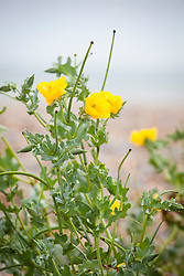 Yellow Horned Poppy growing by the sea at Sandwich Bay, Kent. Glaucium flavum