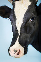 Cow against blue background close-up of head
